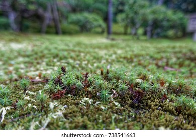 Moss, Close-up at an old garden in Japan