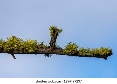 A a moss covered branch set against a blue sky in eastern Washington.