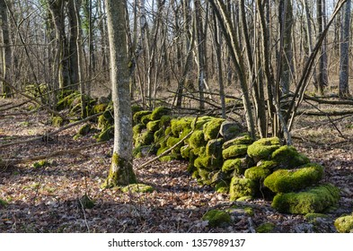 Moss covered dry stone wall in a deciduous forest at the island Oland in Sweden
