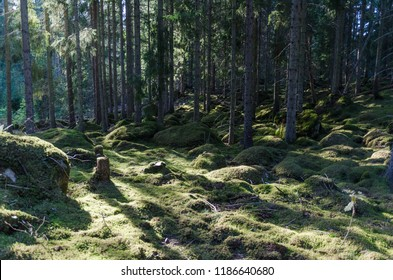 Moss covered floor deep in a spruce tree forest