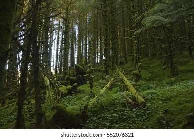 Moss covered forest with fallen trees and ferns with light through the trees