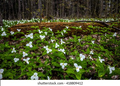 Moss Covered Log And Wild White Trillium. Fallen log surrounded by wild white trillium. Trillium are the official wildflower of Ontario and Ohio.