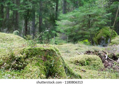 Moss covered old stump in a green spruce tree forest