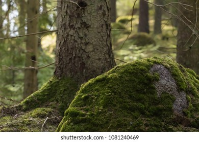 Moss covered rock in a beautiful coniferous forest
