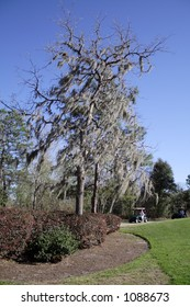 Moss covered trees on golf course in Florida in February.  Golfers in cart on path.