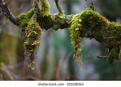 Moss dangles from a branch in the Hoh Rainforest in Olympic National Park, Washington, USA