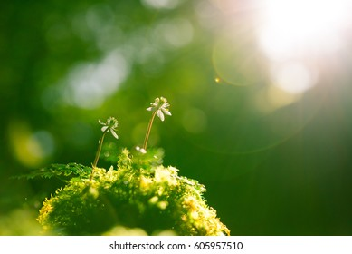 Moss and flowers Coptis japonica