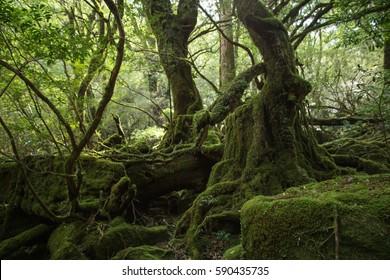 Moss forest in Shiratani Unsuikyo, Yakushima Island, natural World Heritage Site in Japan