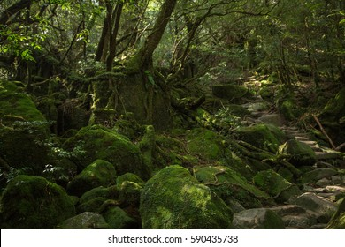 Moss forest in Shiratani Unsuikyo, Yakushima Island, natural World Heritage Site in Japan
