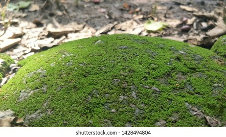 Moss green on Rock.Stone with Green mos. Green mos background.