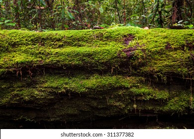 Moss growing in big fallen tree