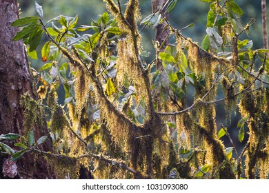 Moss laden branches in Bwindi Impenetrable Forest, Uganda