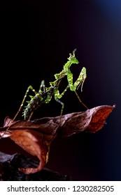 moss mantis, praying mantis, small mantis