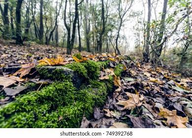 Moss on a forest floor, on a foggy autumn morning