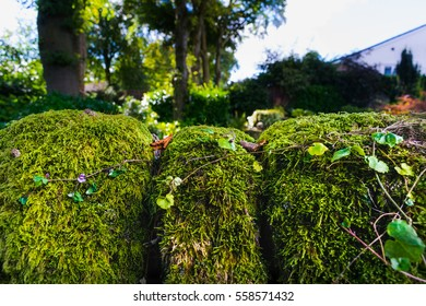 Moss On The Garden Stone Wall, Trees and garden in the background, Lancashire, England UK