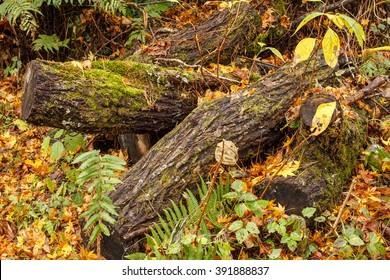 Moss on the logs in autumn in Urabandai - Yama, Fukushima, Japan