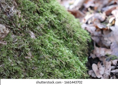 Moss on the North Side of Tree