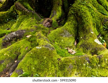 moss on old natural root giant tree