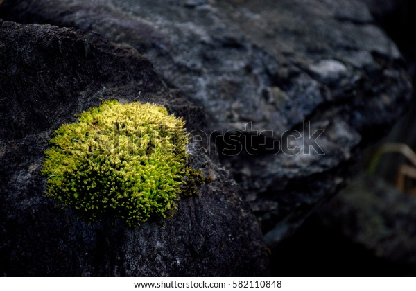 Moss on the rock - Racomitrium canescens.