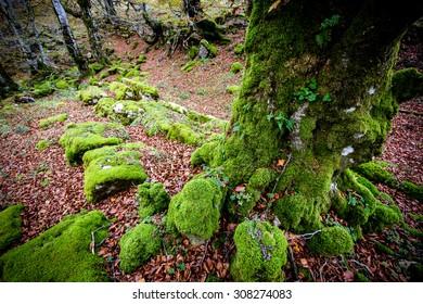 moss on rocks and beech