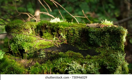 Moss on stump in the forest. Old timber with moss in the forest. Stump green moss spruce pine coniferous tree forest park wood root bark