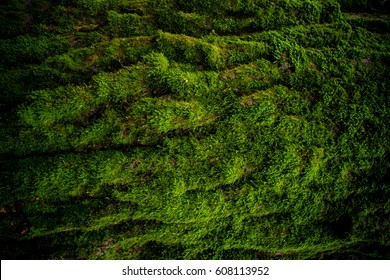 Moss on tree high quality texture, wallpaper, background