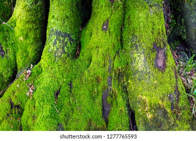 Moss on a tree  trunk  in the forest.Fantasy color outdoor image of gigantic roots of an old tree, covered with moss.