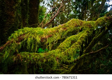 Moss on trees on an Anaga trail, in Tenerife, Canary islands, Spain
