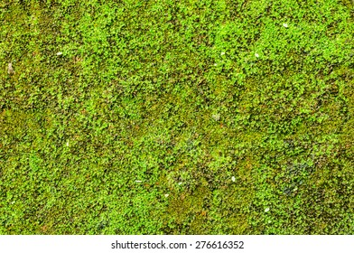 Moss on the wall for beautiful background