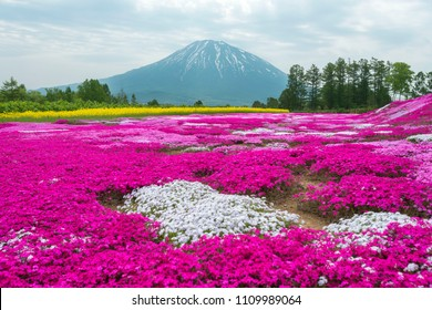 Moss phlox of Japan that is blooming extensively and beautifully