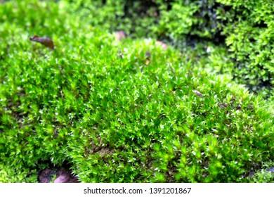 Moss plant background on stone, garden of Kamphaeng Phet Historical Park Thailand