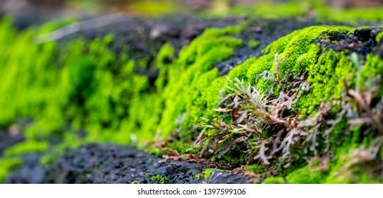 Moss plant background on stone, garden of Kamphaeng Phet