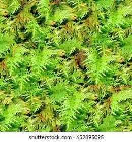 Moss seamless texture closeup background.