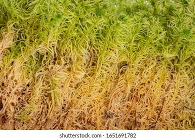 moss - Sphagnum - peat moss close up