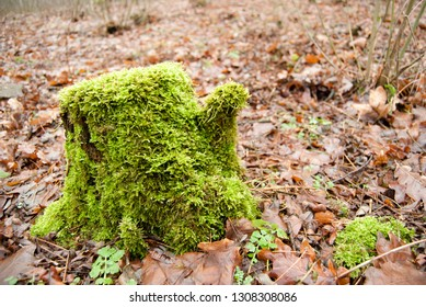 Moss stump. old stump. In the old forest. Dry leaves. Nature. Lonely stump.