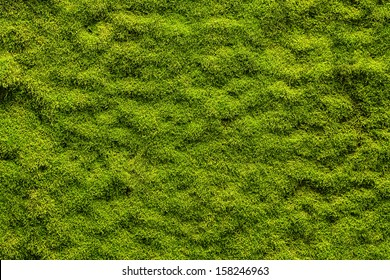 Moss texture, background with copy space