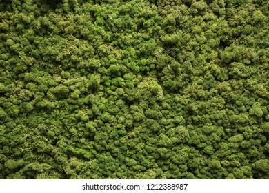 Moss texture. Moss background. Green moss on grunge texture, background nature