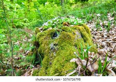 Moss and white flowers in the Palatinate Forest in spring. Palatinate Forest-North Vosges Biosphere Reserve, Germany