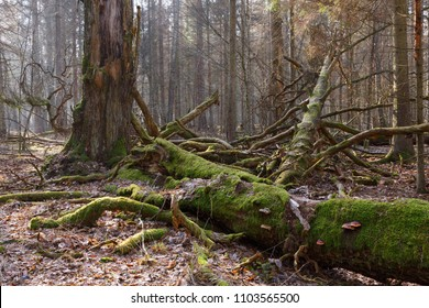 Moss wrapped broken oak tree lying with and fungi grows over, Bialowieza Forest,Poland,Europe