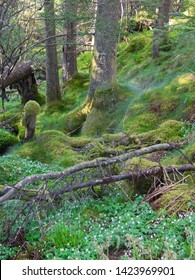Moss-covered green misterious Norwegian forest with lilys of the valley