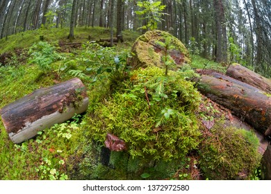 Moss-covered logs in the forest on a rainy summer day
