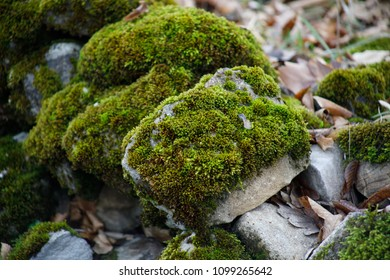 Moss-covered stone. Beautiful moss and lichen covered stone. Bright green moss Background textured in nature. Natural moss on stones in winter forest. Azerbaijan. Selective focus