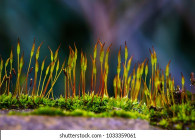 Mosses are small flowerless plants that typically grow in dense green clumps or mats, often in damp or shady locations. confused with lichens, hornworts, and liverworts. Division Bryophyta. Macro moss