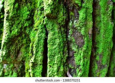 mosses stick to pine wood in the morning sun in spring