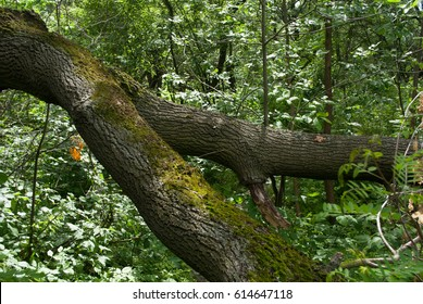 The moss-grown branch of a fallen tree in a thick deciduous forest