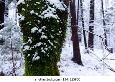 Mossy bark in the snow