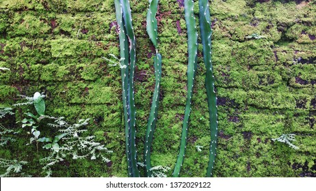 the mossy brick wall background, cactus propagates. wallpaper brick