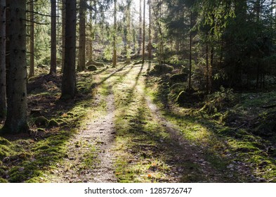Mossy footpath in a bright green coniferous forest
