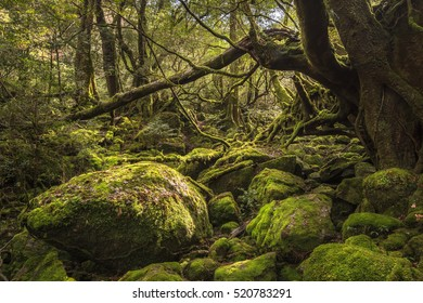 Mossy Forest, Shiratani Unsuikyo, Yakushima, Kagoshima, Kyushu, Japan