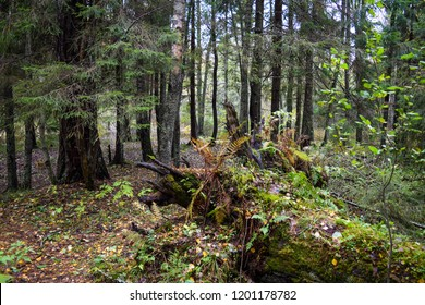 Mossy forest thicket scene. Autumn grove of larch trees moss view. Grove of larch trees mossy nature scene